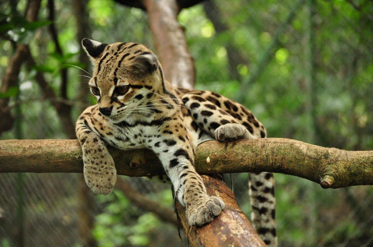 Длиннохвостая кошка