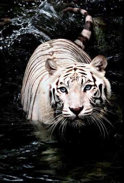 Белые тигры в фотографиях Бирте Рагланд Персон (24 шт)