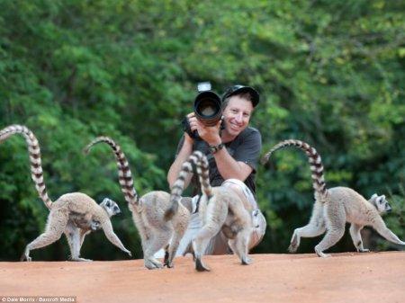 Лемуры в фотографиях Дэйла Морриса (18 шт)