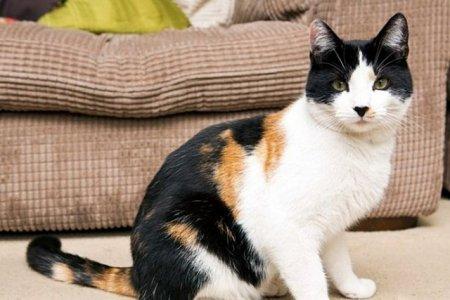 Уникальный трёхцветный кот Джейк из Великобритании