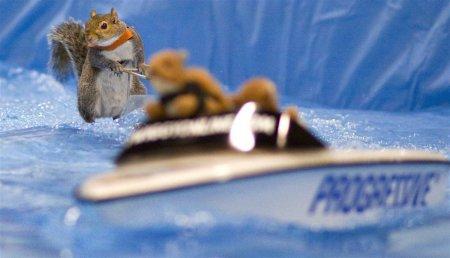 Белочка Твигги, умеющая кататься на водных лыжах (13 фото)