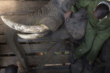 Переселение слонов в Кении (22 фото)