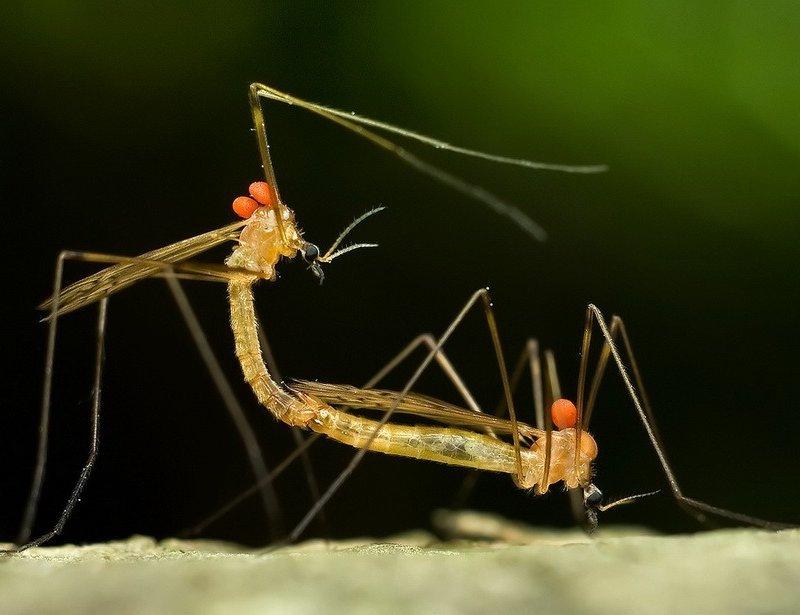 Комары долгоножки во время спаривания