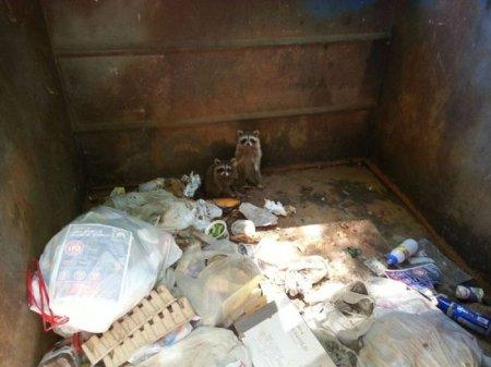 Спасение енотов из мусорного контейнера (7 фото)