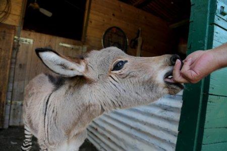 В итальянском заповеднике родился зеброслик Иппо (6 фото)