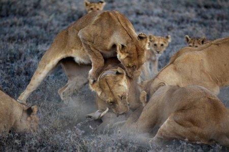 Цари зверей в Национальном парке Серенгети (10 фото)