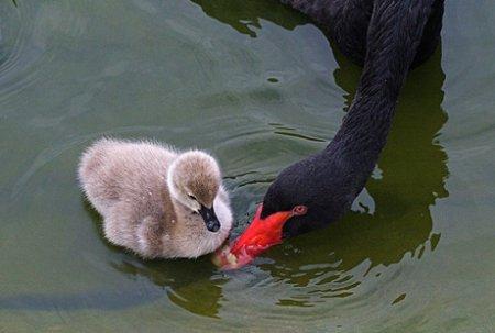 Чёрные лебеди с птенцами (7 фото)