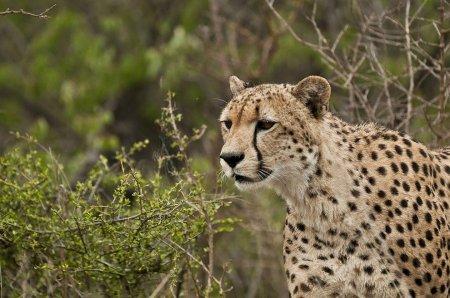 Молодые львицы против взрослого гепарда (11 фото)