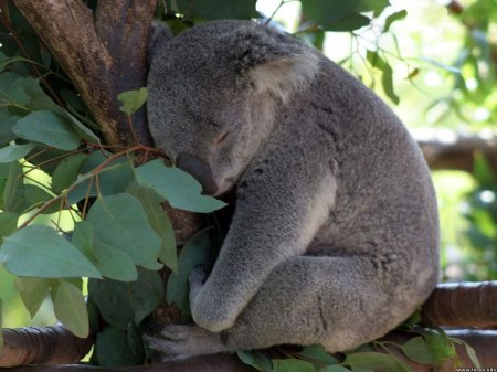 Коалы: австралийские