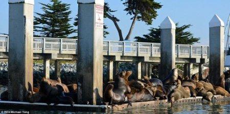 Морские львы массово загорают на причалах Калифорнии (6 фото)