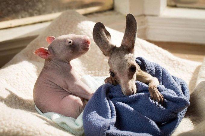 Кенгурёнка и детёныша вомбата 10 фото
