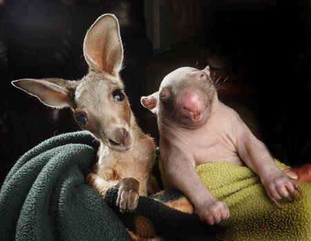 Неразлучные друзья Анзак и Пигги (10 фото)