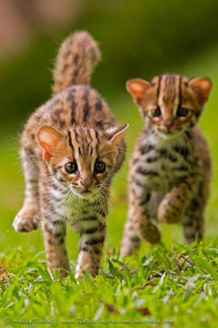 Прелестные львята и бенгальские котята в фотографиях Эшли Винсента (8 фото)