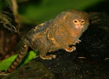 Карликовые игрунки – наименьшие представители приматов (8 фото)