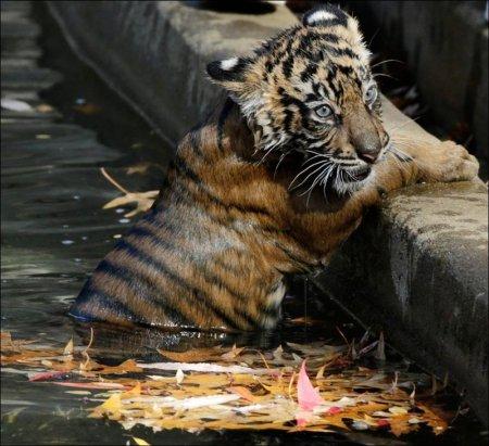 Первое купание трёхмесячных суматранских тигрят (4 фото + видео)