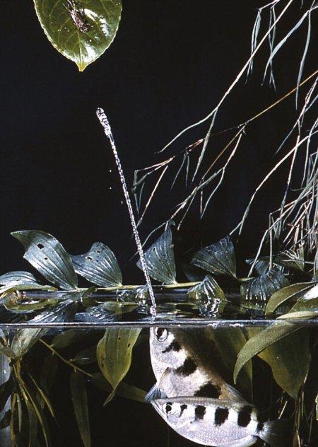 Уникальная рыба-брызгун плюётся струями воды, чтобы сбить свою добычу (3 фото + видео)