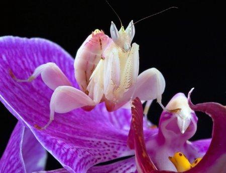Поразительный орхидейный богомол имитирует цветы, чтобы привлечь ничего не подозревающую добычу (4 фото + видео)