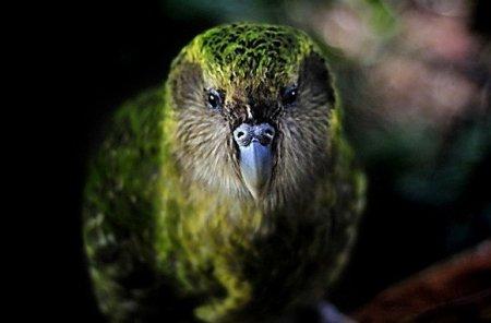Какапо: добродушный попугай, похожий на сову (9 фото)
