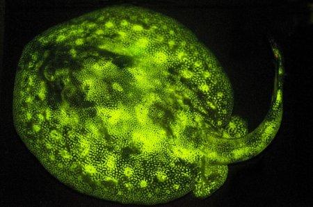 Учёные обнаружили 180 видов светящихся рыб (12 фото)