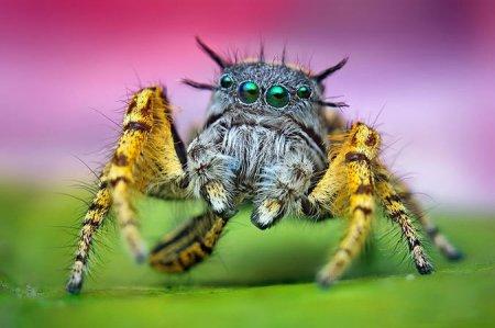 Пауки-скакунчики в макрофотографиях Томаса Шаана (20 фото)