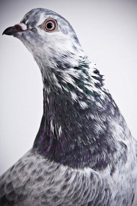 Самые необычные породы голубей (22 фото)