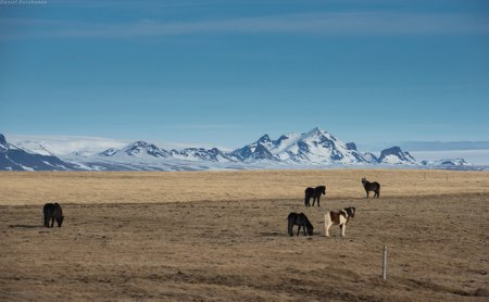 Исландские лошади: красивые животные, привыкшие к суровому климату (15 фото)