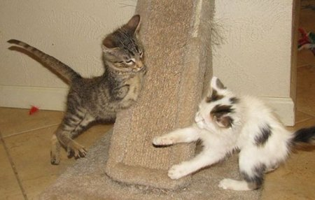 Двулапый котёнок Меркурий (16 фото + видео)