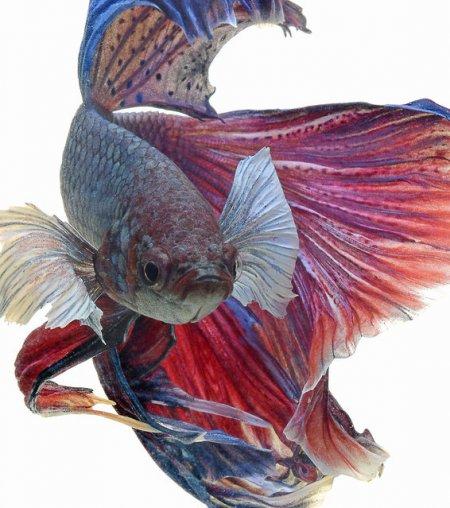 Выразительные фотографии бойцовых рыб (8 шт)