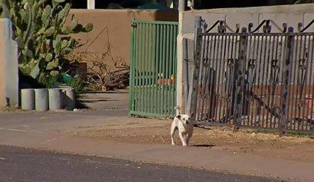 Крошечный террор: город в штате Аризона терроризируется стаями бездомных чихуахуа (2 фото + видео)
