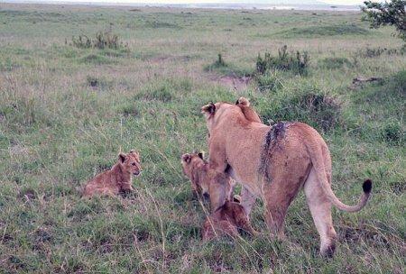 Спасение львицы после схватки с буйволом (9 фото + видео)