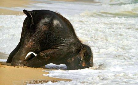 Слонёнок, впервые увидевший море (4 фото + видео)