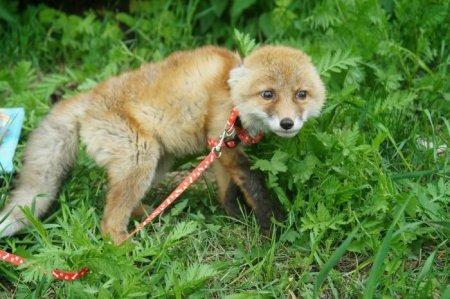 Спасение лисёнка, пострадавшего от собак (5 фото)