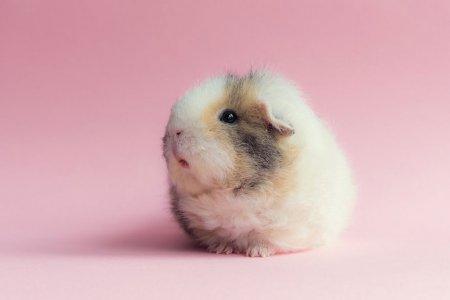 Бубу и её друзья – самые очаровательные морские свинки в Интернете (13 фото)