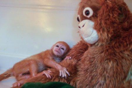 В Зоопарке Бали появился очаровательный новорожденный детёныш блестящего гульмана (9 фото)