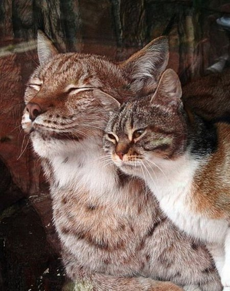 Очаровательная дружба рыси и кошки в Ленинградском зоопарке (4 фото + видео)