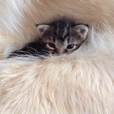 Взрослый ретривер стал котёнку матерью (11 фото)