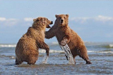 Бурые медведи Аляски через объектив фотографа Инго Арндта (10 фото)