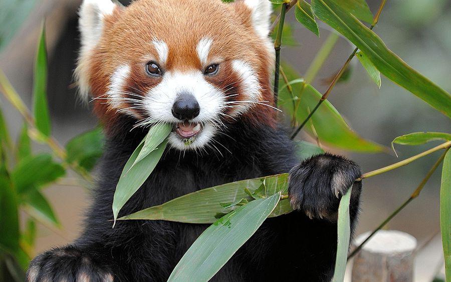 http://www.zooblog.ru/uploads/posts/2014-08/1408666356_krasnaya-panda-2.jpg