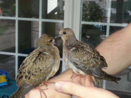 Спасение выпавших из гнезда птенцов (10 фото)