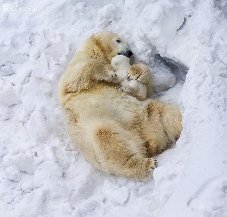 Медведицы учат медвежат быть настоящими медведями (20 фото)