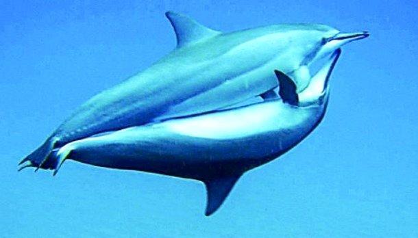 как занимаются дельфины сексом