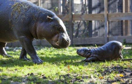 В шведском зоопарке родилась самочка карликового бегемота (4 фото + видео)