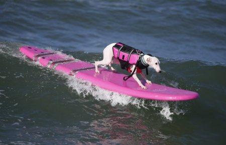 Собаки-серферы на ежегодном соревновании Surf City surf dog-2014 (29 фото)