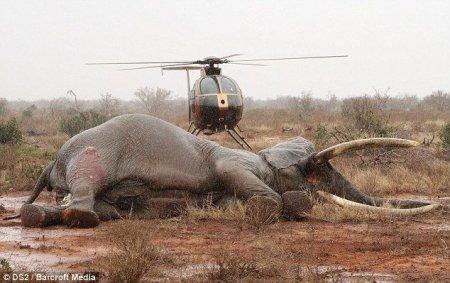 Спасение слона, раненого ядовитой стрелой браконьеров (7 фото + видео)