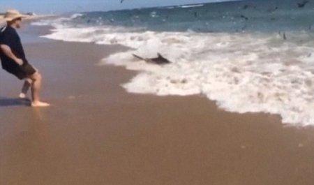 Более сотни акул в бешенстве поедают рыбу на линии прибоя