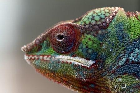 Топ-7: Самые красочные хамелеоны на планете (9 фото)