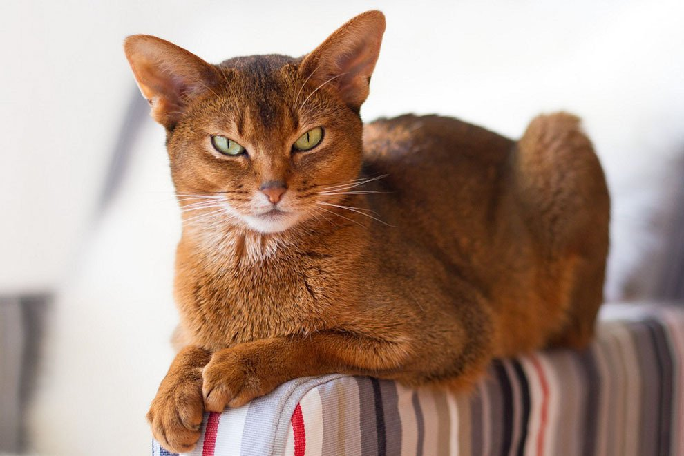 Кошки самых красивых пород 11 фото