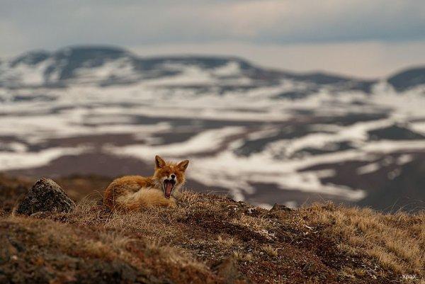 Дикие лисицы в фотографиях Ивана Кислова (29 фото)