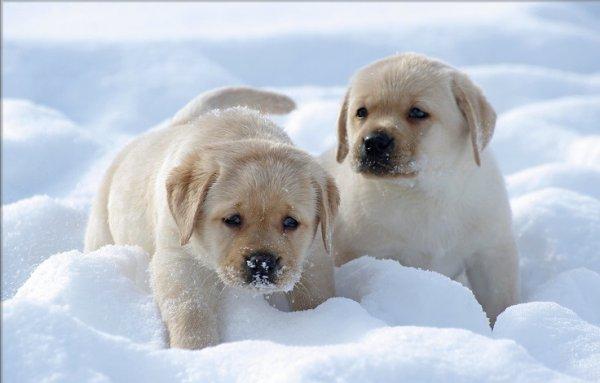 Основные правила выращивания щенка породы лабрадор