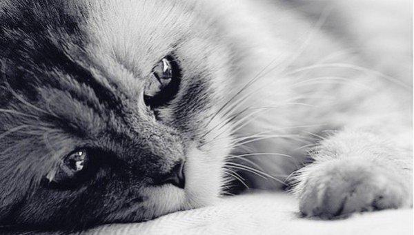 Чумка у кошек: симптомы, лечение и профилактика